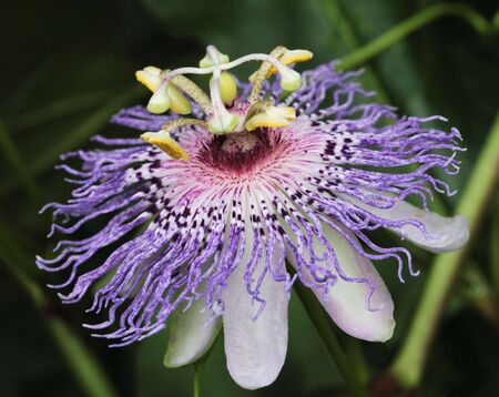 Exotic and unusual passionflower