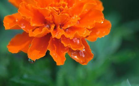 Marigold petals after a rain shower.