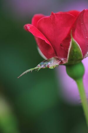 Red rose with water drop, shallow depth of field.