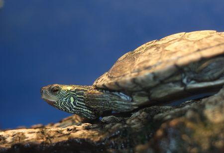 Turtle in his forest habitat.