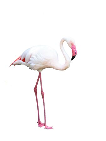 Pink flamingo isolated over white with copy space. Stock Photo - 3347728