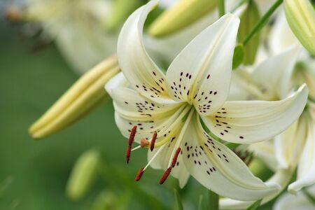 tiger lily: White tiger lily