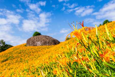 fulvous: Sea of daylily flowers in Mountain Stock Photo