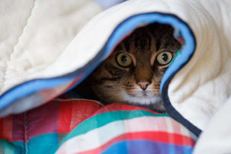 counterpane: Tabby cat lying under the coloured quilt with eyes wide open