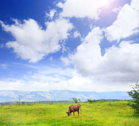 Cow grazes on meadow with green grass at scenic mountain landscape under blue cloudy sky. Stock Photo