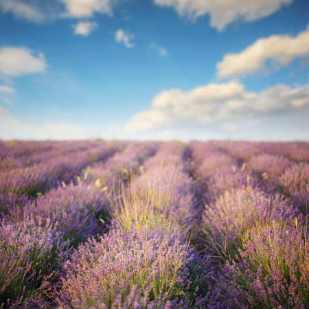 Beautiful purple lavender flowers blooming on field under summer sun under blue cloudy sky.