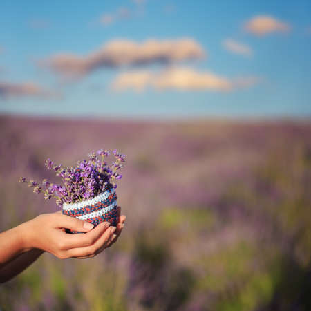 Female hands hold small knitted basket with bunch of lavender flowers under summer sunlight at the background of blooming field under blue cloudy sky. Shallow dof. Stock Photo