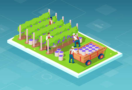 Vector of farmers collecting grapes into boxes loaded on farming tractor trailer for wine production.