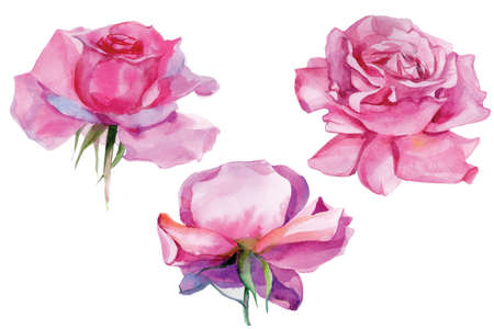 Set of pink roses. Watercolor Illustration. Isolated