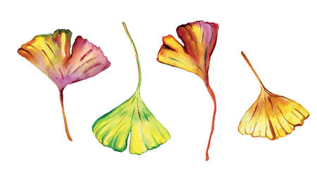 Watercolor Ginkgo Biloba leaves isolated on white background