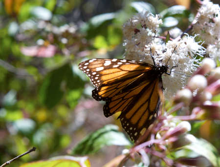 sierra: Monarch Butterfly eating from a flower in the sanctuary of sierra chincua in Michoacan Mexico Stock Photo