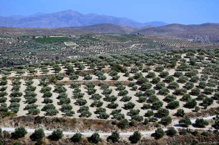 Agriculture: olive plantations in Crete, Greece. Banco de Imagens