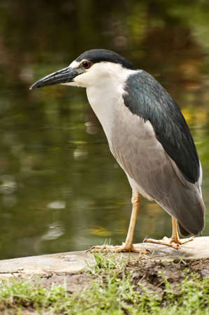 Tropical bird in the Dominican Republic, Black Crowned Night Heron. Imagens
