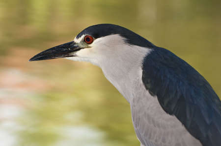 Tropical bird in the Dominican Republic: Black Crowned Night Heron.