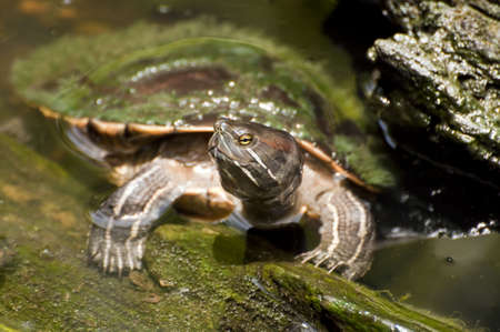 a turtle in a pond.