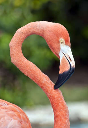 Fresh image of a pink flamingo.
