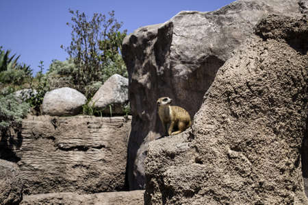 suricatta: A meerkat or suricate in the wild.