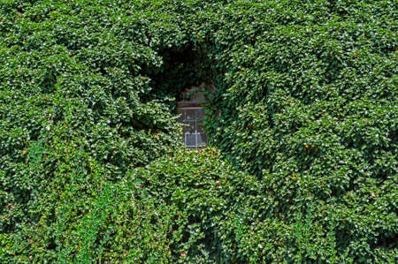 Image of an ivy covered wall and window Stock Photo - 23482941