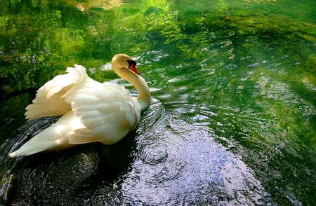 Beautiful swan in a pond Banco de Imagens