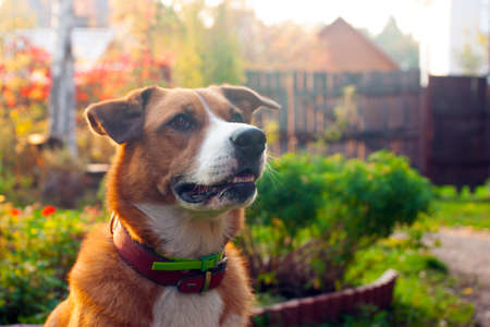 Portrait of orange dog