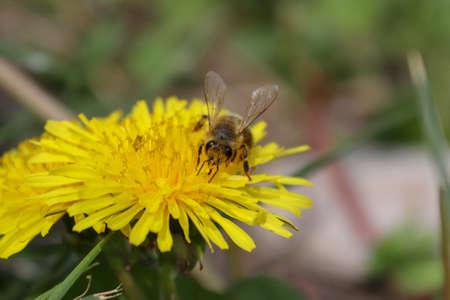 Wildflower, yellow flower, dandelion and bee Imagens