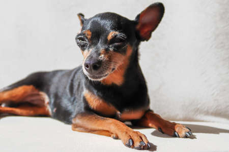 Black and brown miniature pinscher portrait in summer time. Cute little girl with smartphone