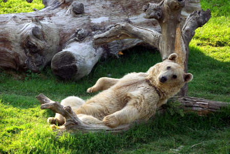 foreleg: bear lying down