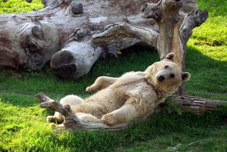 bear lying down Stock Photo - 10684229