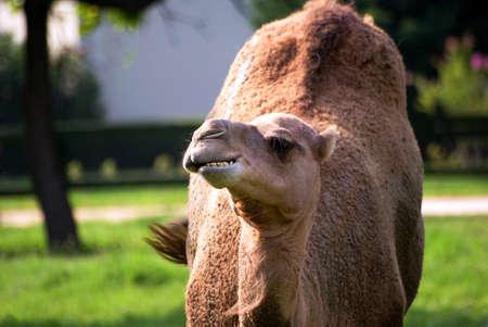 camel eating Stock Photo