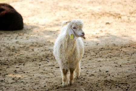 little sweet white lamb