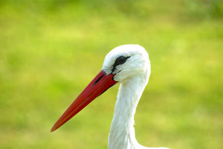 stork on green background Stock Photo