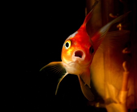 Un poisson rouge solitaire dans un aquarium maison photo