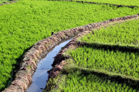 ricefield: A  typical ricefield got it