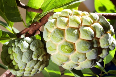 sweetsop: Atis - Custard Apple