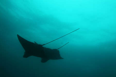 Silhouette of two mantas (stingrays) from bellow photo