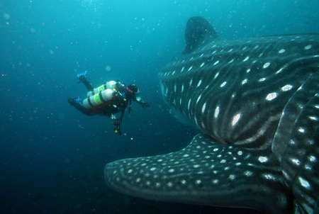 scuba diver approaching whale shark in galapagos islands waters photo