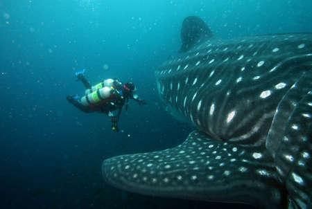 scuba diver approaching whale shark in galapagos islands waters Standard-Bild