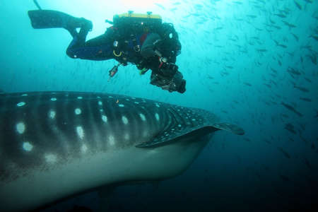 scuba diver approaching whale shark in galapagos islands waters and taking photos Фото со стока