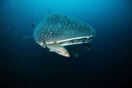 Closeup of whale shark approaching to diver
