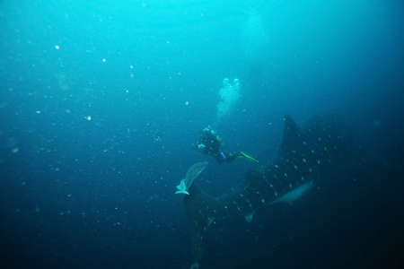 scuba diver approaching whale shark in galapagos islands waters and taking photos Stock Photo - 4627354