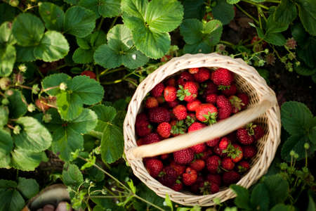 Garden strawberry in a basket with natural  green leaves backgound