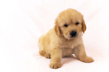 Studio shot of golden retriever baby front view