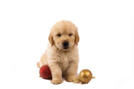 Studio shot of golden retriever baby with christmas toys Фото со стока