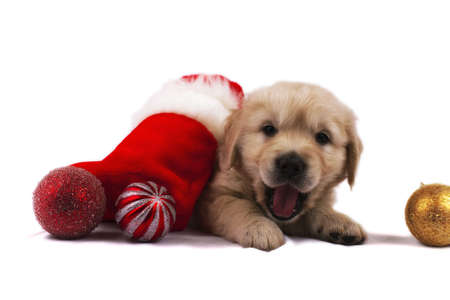 Studio shot of golden retriever baby with christmas toys an red santa's sock