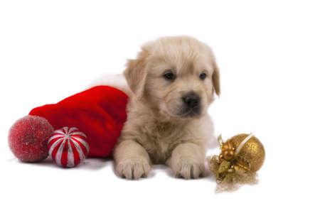 Studio shot of golden retriever baby with christmas toys an red santa's sock Standard-Bild