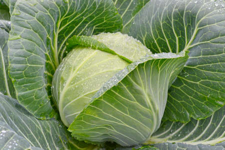 Fresh green cabbage with water drop on it s leaf in the vegetable garden photo