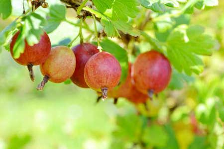 gooseberry bush: Ripe red gooseberry on branch Stock Photo