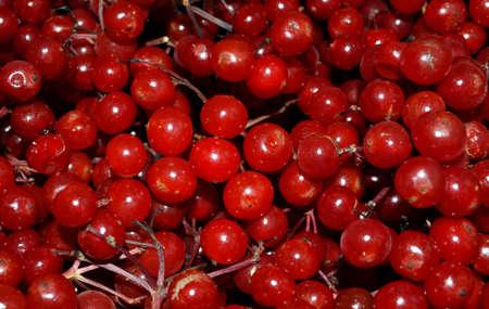 guelder: Guelder Rose Berries Background