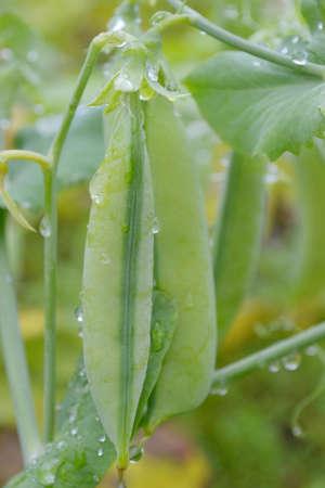 peas growing on the vegetable garden Stock Photo