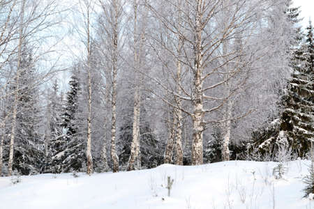 Beautiful landscape winter forest with snow